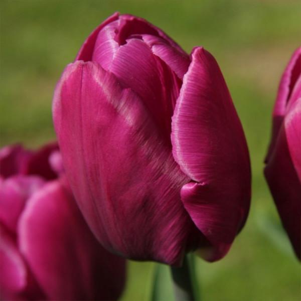 XL-Pack Tulip Purple Prince®