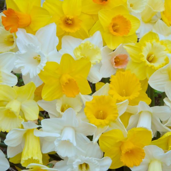 Daffodil Trumpet Mix