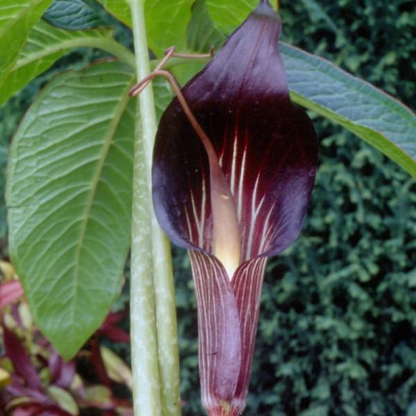 Arisaema speciosum