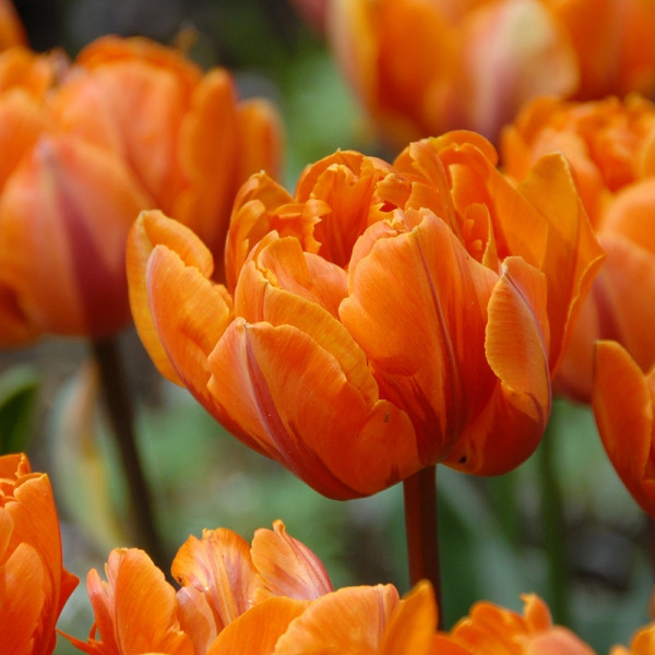 Tulip Orange Princess