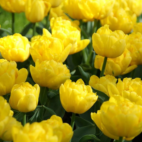 Tulip Yellow Baby