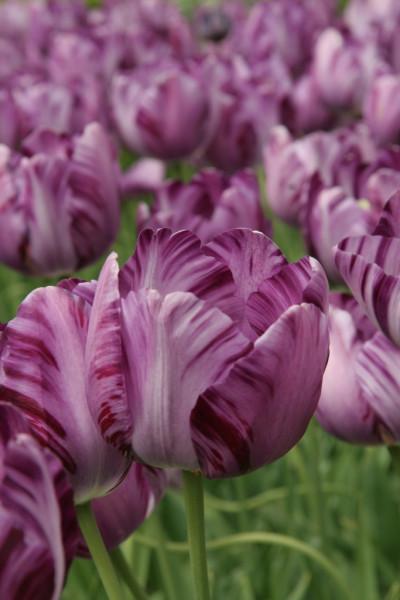 Tulip Insulinde