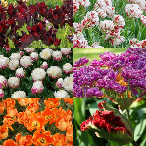 Flower Bulb Collection PARIS