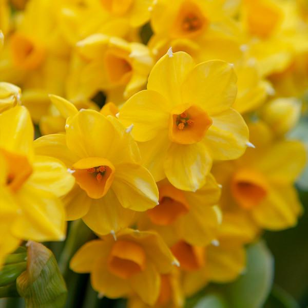 Daffodil Grand Soleil d'Or