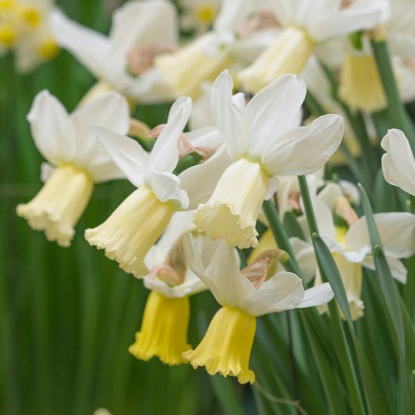 Daffodil Surfside