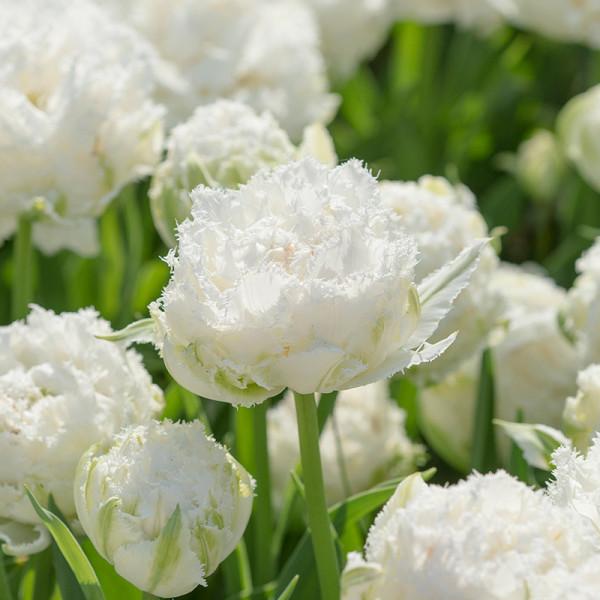 Tulip Snow Crystal