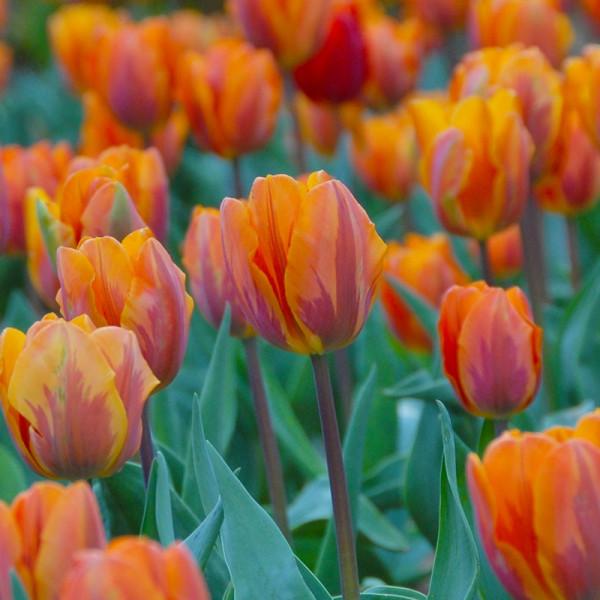 XL-Pack Tulip Prinses Irene