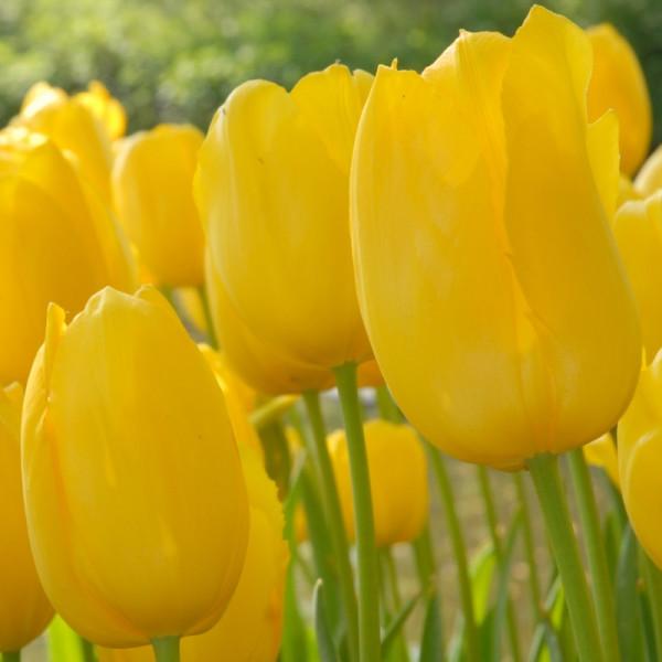 Tulip Roi du Midi