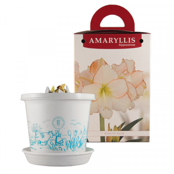 Amaryllis Picotee in pot and in giftbox