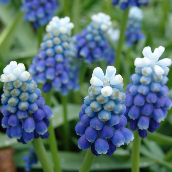 Muscari Touch of Snow