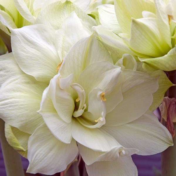 Amaryllis Marilyn® , à 1