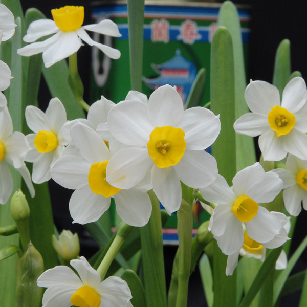 Daffodil Chinese Sacred Lily