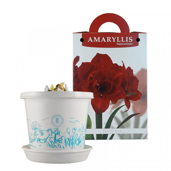 Amaryllis Cherry Nymph op pot in geschenkdoos