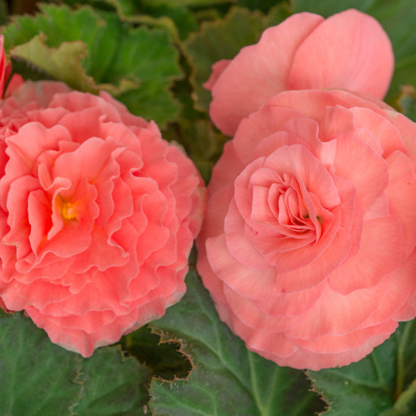 Begonia double pink