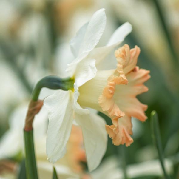 Daffodil British Gamble