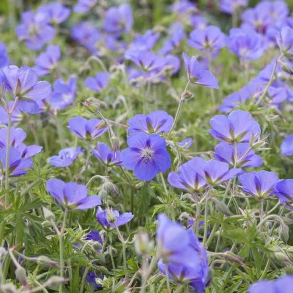 Geranium 'Brookside' set of 3 plants, price is per plant