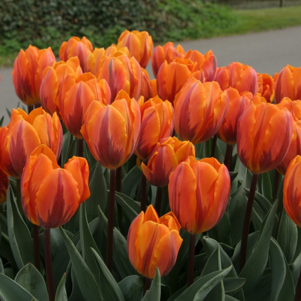 Tulip Prinses Irene