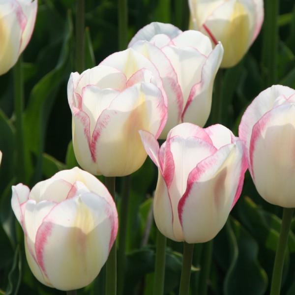Tulip Blushing Girl