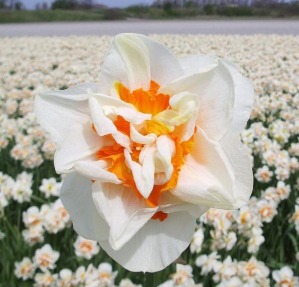 Daffodil Flower Parade