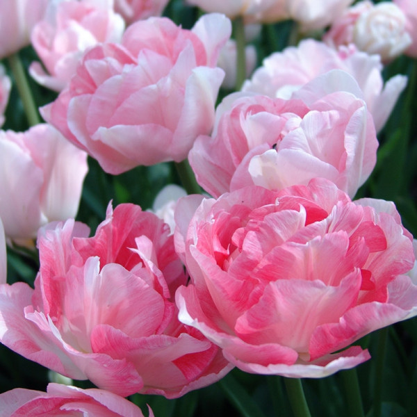 XL-Pack Tulip Angelique
