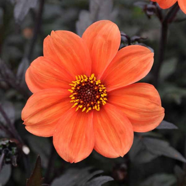 Dahlia Bishop of Oxford, à 3
